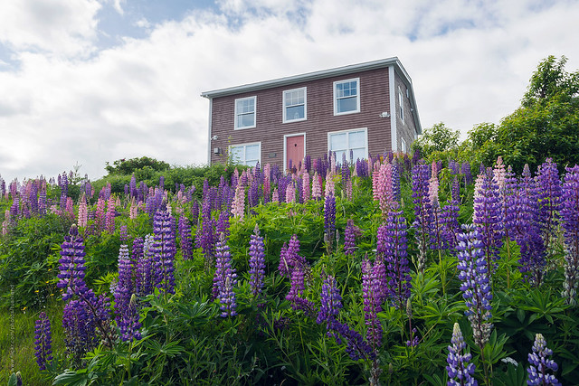 Newfoundland house and lupins