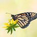 Mellow Monarch by Ste.Baz