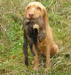 boykin spaniel(0.0), german wirehaired pointer(0.0), chesapeake bay retriever(0.0), dog breed(1.0), animal(1.0), dog(1.0), hunting dog(1.0), german spaniel(1.0), carnivoran(1.0),