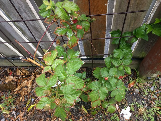 frost burned boysenberry