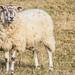 Sheep Personalities (3 of 4)