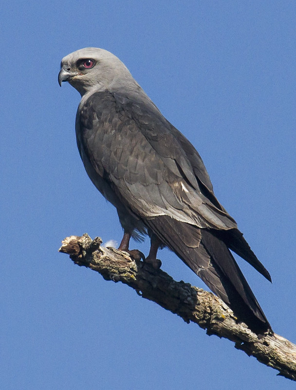Mississippi Kite #1 6-10-15