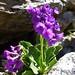 Primula latifolia (Kerrie Porteous)