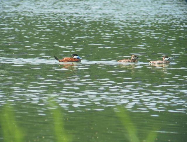 Ruddy Ducks- Hog Island WMA, Surry Co., Va 7-29-15
