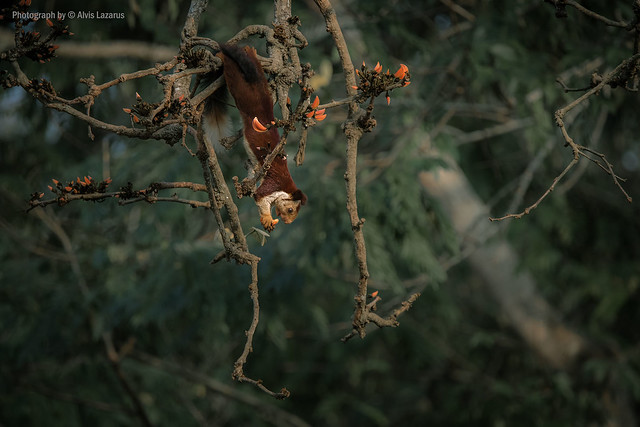 Cute Gymnast | Malabar Giant Squirrel | India