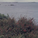 Small photo of Herm. Fuchsia gracilis on east cliffs