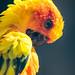 Aratinga solstitialis / Sun parakeet / Солнечная аратинга by Svitlana Tkach