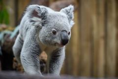 Koala Walking Towards Camera