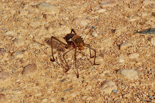 You see these guys all over in Namibia...they are the size of a fist!