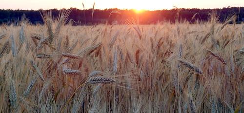 camera sunset sun rural landscape countryside corn europa europe day sony grain poland polska ears cybershot ear fields dzień compact ripe tempelhof słońce zachód słońca zboze krajobraz wiejski łan kłos kłosy dojrzałe niwki dschx9v