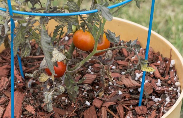 Poor Tomato Crop