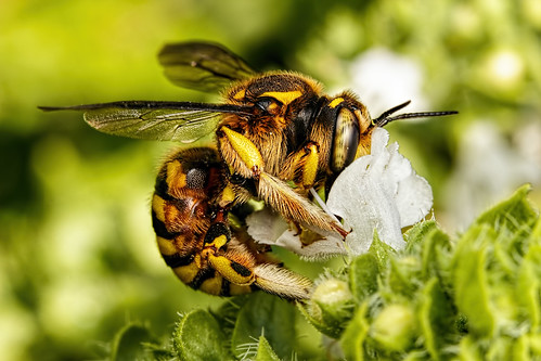 Wool Carder Bee in Basil I