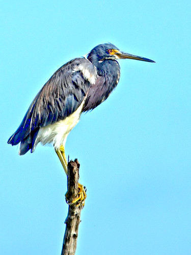 Tricolored Heron HDR 20150722