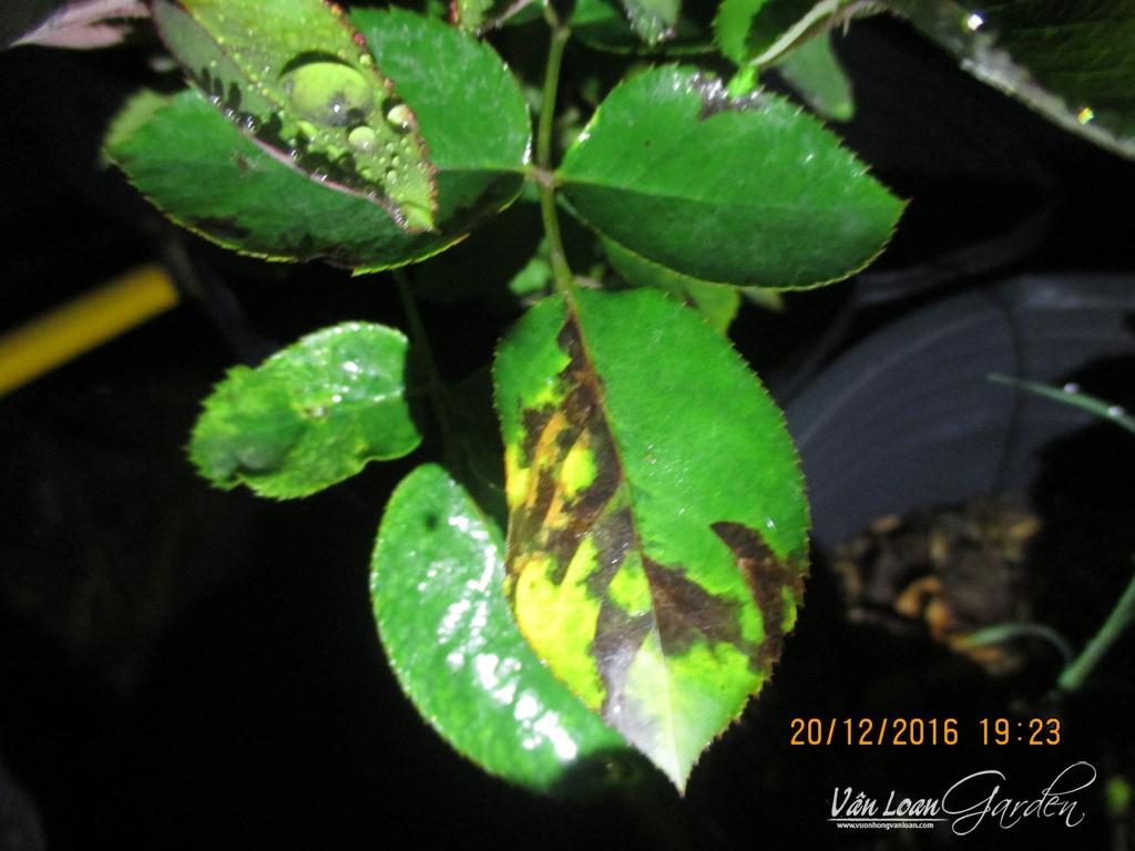 xanthomonas roses+Bacterial Leaf Spot Disease (2)-vuonhongvanloan.com