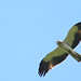 Booted Eagle (Wim Bovens)