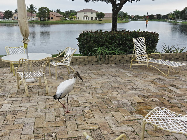 Wood Stork on patio 20150120