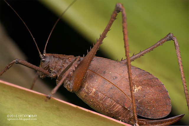 Katydid (Tettigoniidae) - DSC_4507