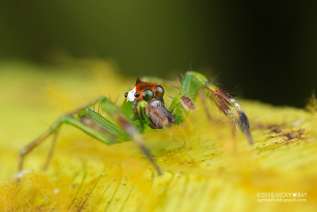 Jumping spider (Epeus sp.) - DSC_3892