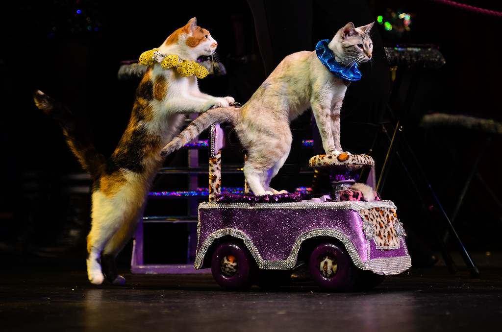 A calico cat pushing a purple cart carrying a white and grey cat.