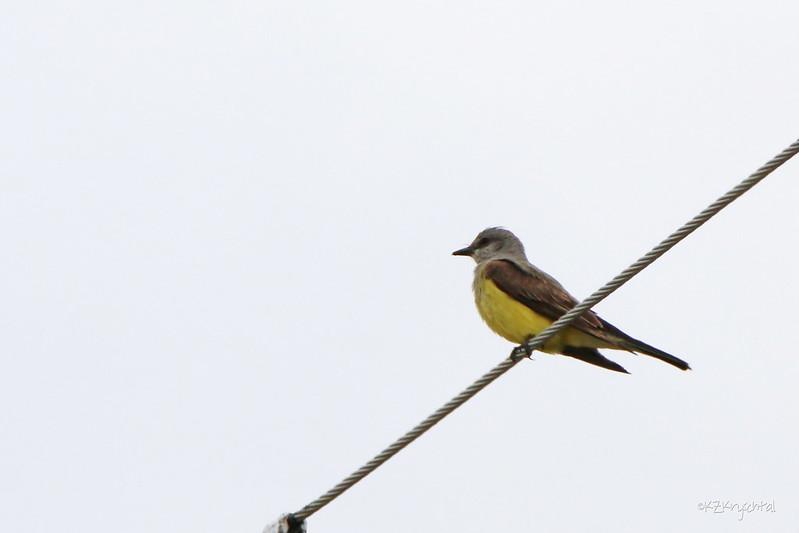 IMG_9822WesternKingbird