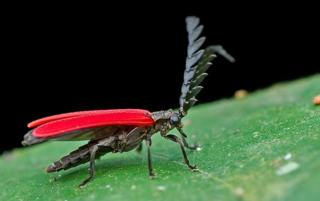 Net-winged beetle (Lycidae)