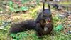 Eichhörnchen isst Mandel by swissgoldeneagle