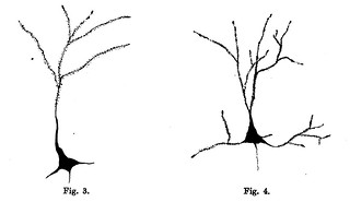 Figs. 3-4 from H. Wright, 'The Action of Ether and Chloroform on the Neurons of Rabbits and Dogs', Journal of Physiology 26 (1-2) (1900), pp. 30-41.