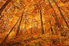Glowing Amber Forest