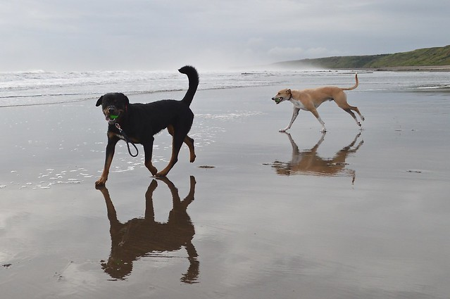 Lurcher and Rottweiler on the beach