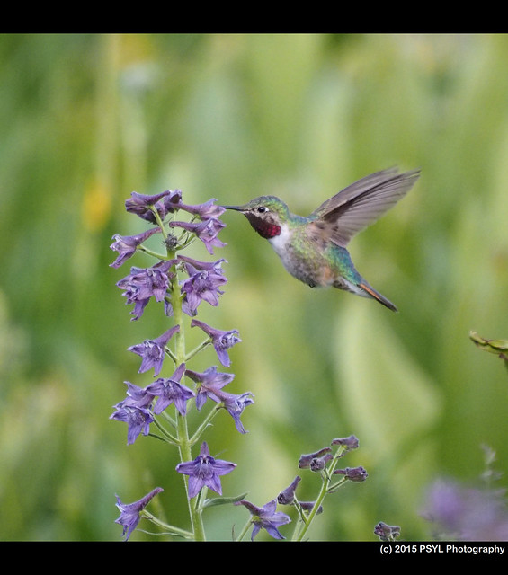 Broad-tailed Hummingbird (Selasphorus platycercus) visiting Delphinium barbeyi