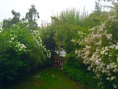 http://www.cwghortus.wordpress.com    HORTUS - VIRIDIARIUM TILIAE, LUNAE, LAPIDUM I. ET II.   22.06.2015 HORTUS 1, WETTESINGEN BEI REGEN, ENDLICH!