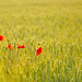 Poppies Thiepval Memorial and Cemetery WW1 Tour