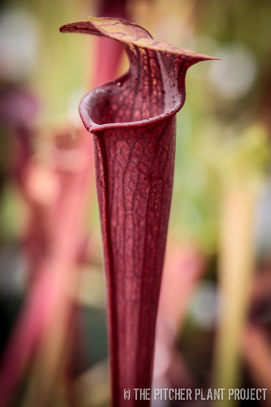 "Sarracenia 'Alucard' ""Prince of Darkness"" x alata 'Night'"