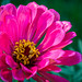 pink, yellow and red zinnia