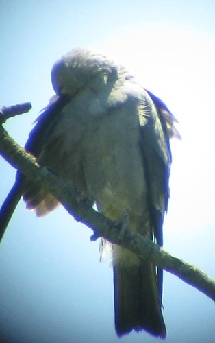 Preening Adult Kite showing solid black tail and solid underwing_Va Beach