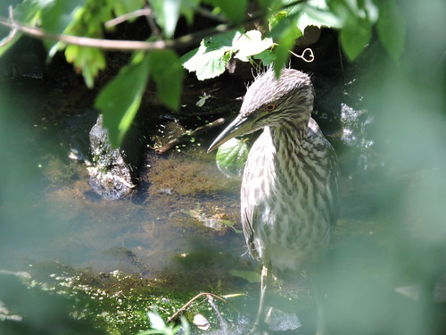 Immature Black-crowned Nigh Heron