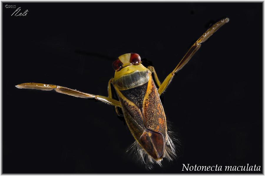 Notonecta maculata 19956327160_e3765d4485_b