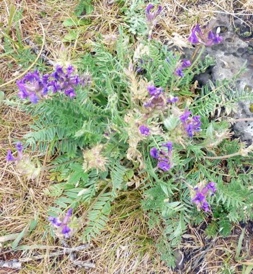 Astragalus laxmannii 20017524375_dd4eb1753c_o