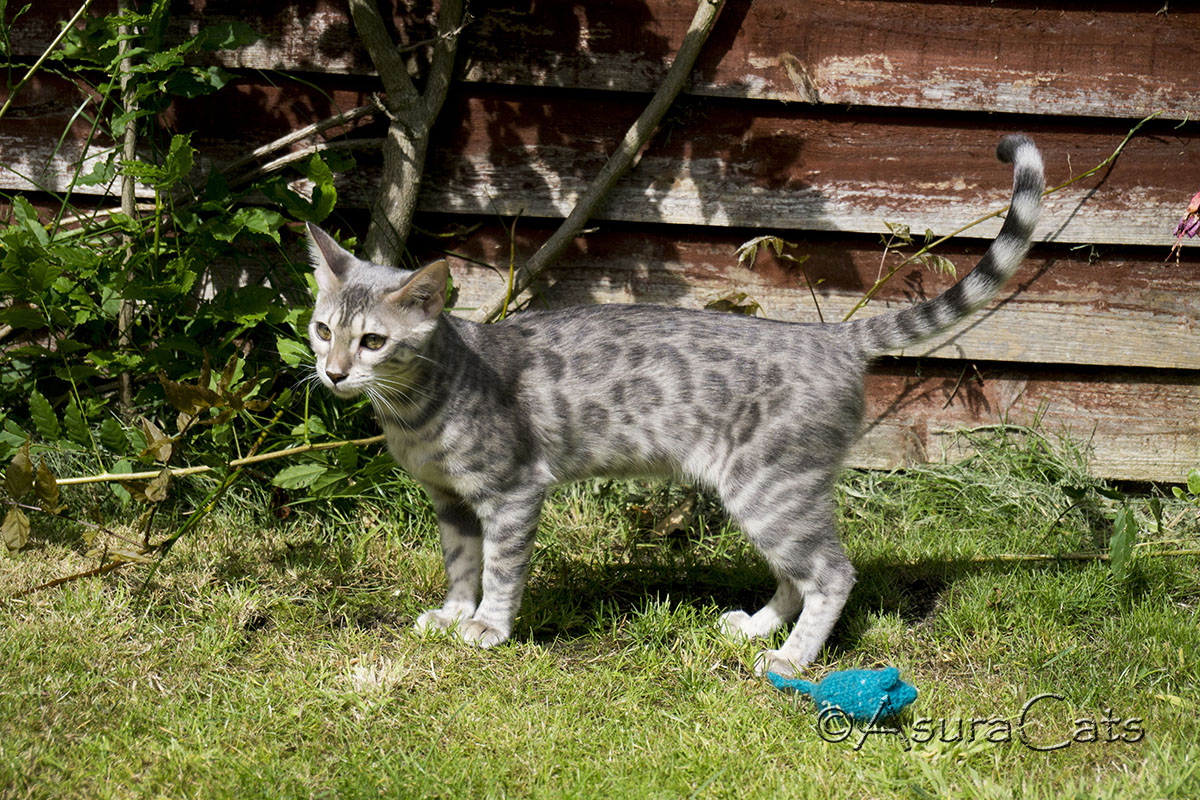 Blue spotted Bengal kitten