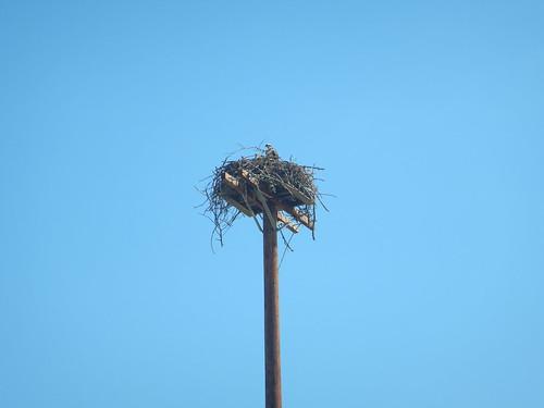 trip canada bird bc nest britishcolumbia kootenay osprey creston 2015