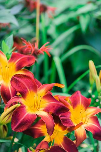 Daylilies.