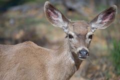 17387-deer