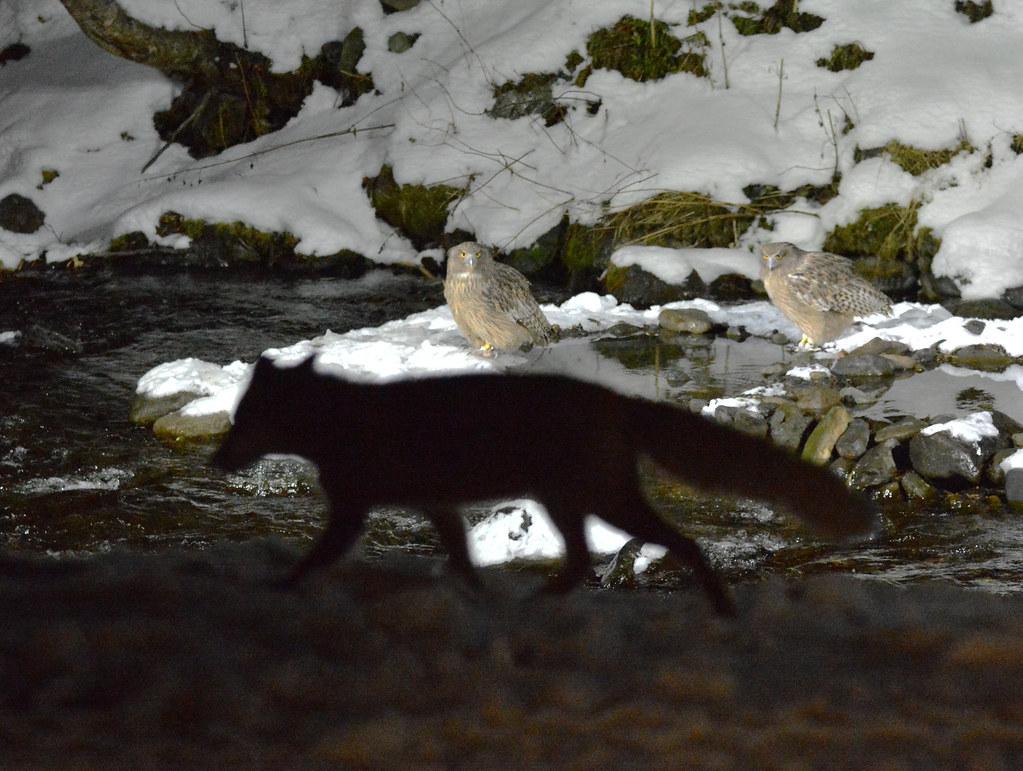 Blakiston's fish owls and a fox