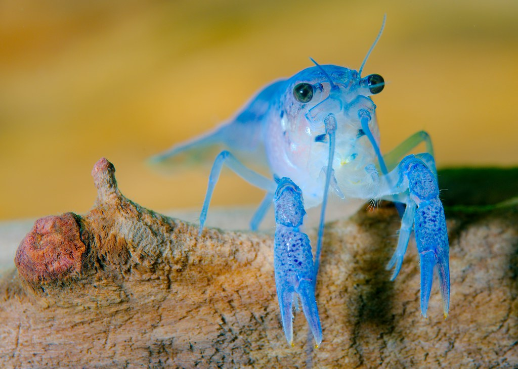 Blue Crawfish_2
