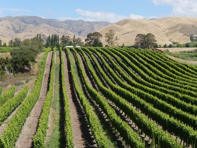 NewZealandWairauValleyVineyards046