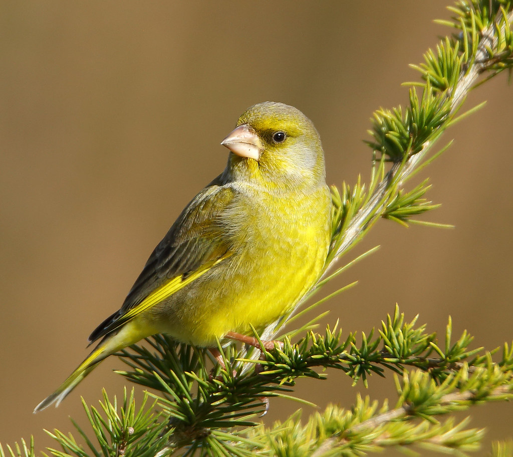 le verdier d'Europe - Chloris chloris - European Greenfinch