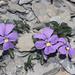Violette du Mont Cenis by luka116