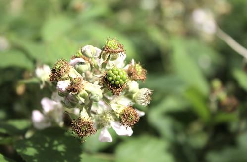 Tiny green blackberries