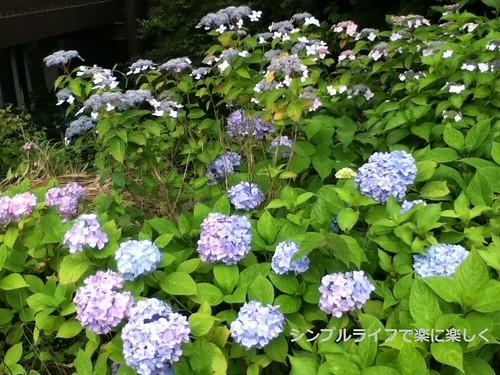 六甲ガーデンテラス紫陽花