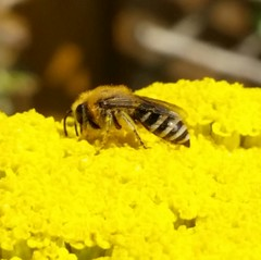 Anthophila - Bees